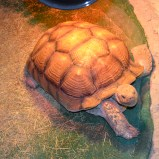60 year old tortoise.